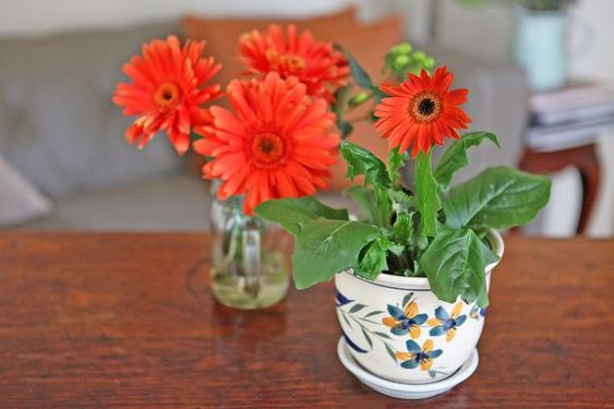 15 gorgeous plants Barberton Daisy for baby nursery plants momooze.zom