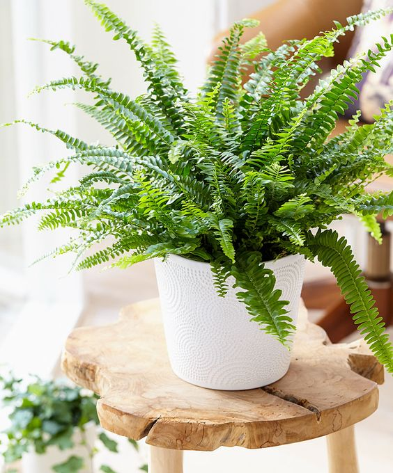 15 gorgeous plants Boston Fern non-toxic plan for babies nursery momooze.com