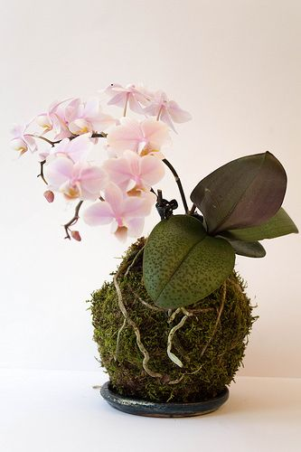 15 gorgeous plants Phalaenopsis Orchid gorgeous plants for baby nursery momooze.com