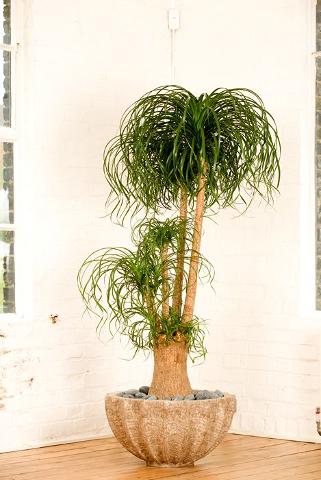 15 gorgeous plants Ponytail Palm gorgeous plants baby nursery momooze.com