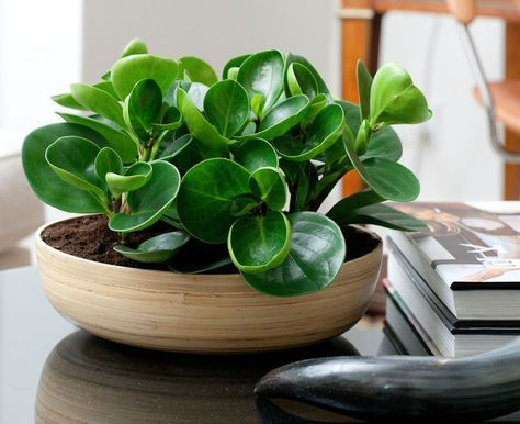 15 gorgeous plants baby rubber plant non-toxic plant for babies momooze.com