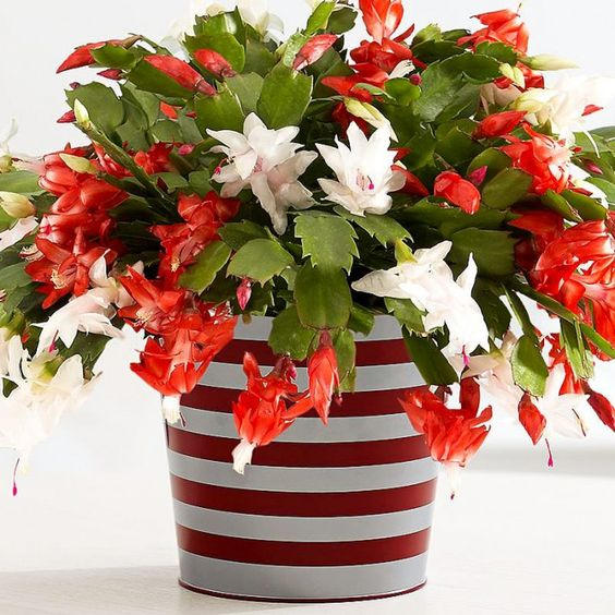15 gorgeous plants christmas cactus baby nursery plants momooze.com