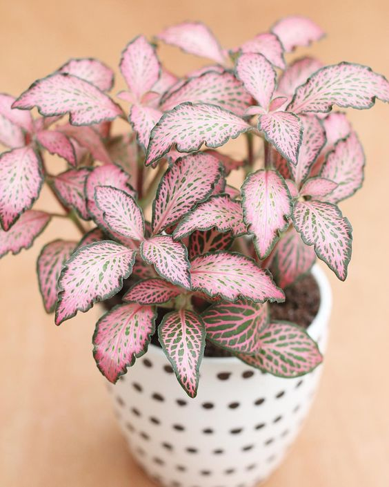 15 gorgeous plants fittonia suitable plant baby nursery momooze.com