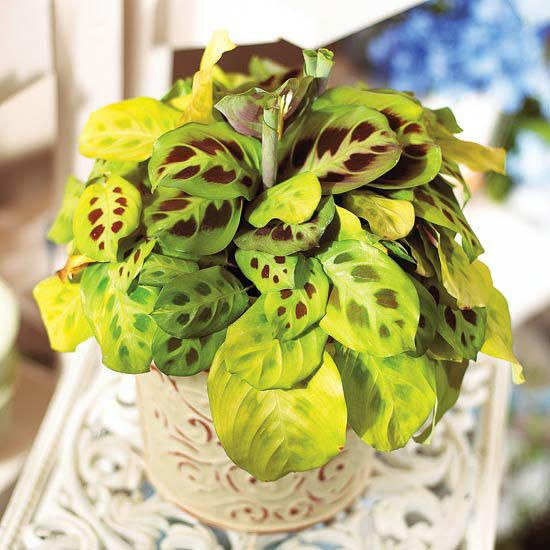 15 gorgeous plants prayer plant gorgeous plants baby nursery momooze.com