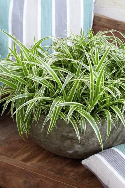 15 gorgeous plants spider plant non-toxic plants gorgeous for nursery momooze.com