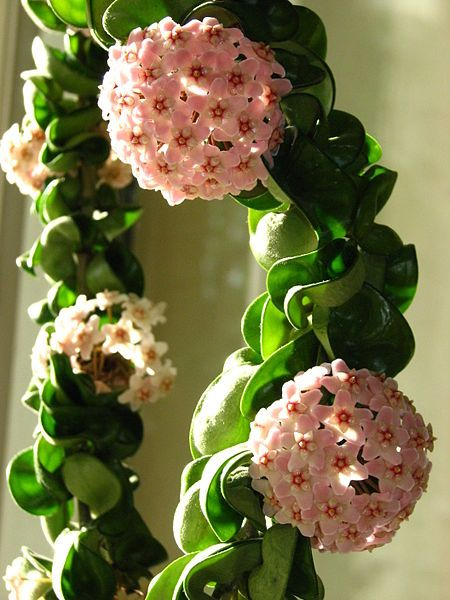 15 gorgeous plants wax plant baby nursery momooze.com