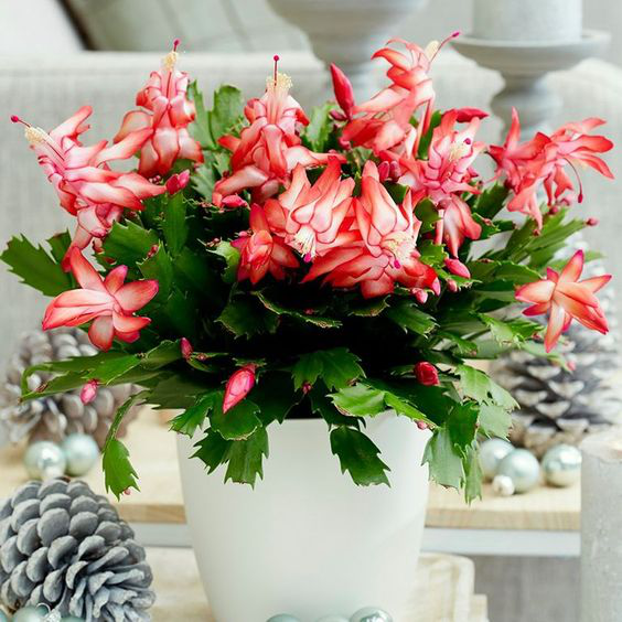 Christmas cactus care what you need to know to keep your plant happy