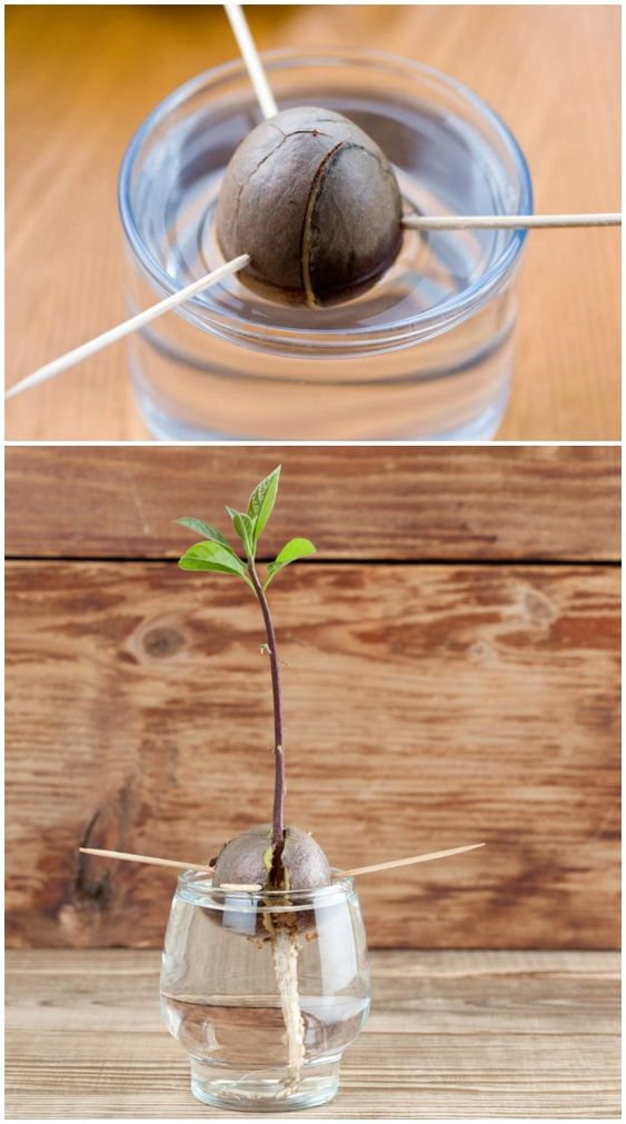 how-to-grow-an-avocado-a-foolproof-guide